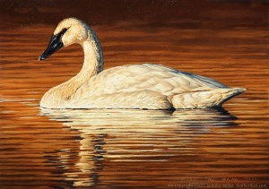 "Jennifer Miller ""Respite"" (Trumpeter Swan) 5x7 oil $375. SOLD"