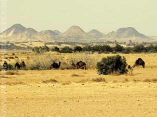 Dromedaries in front of the mountains of Bahariya Oasis