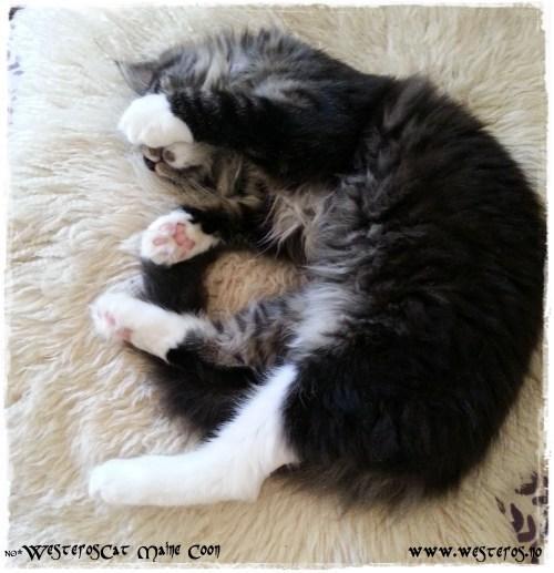 Westeroscat kitten