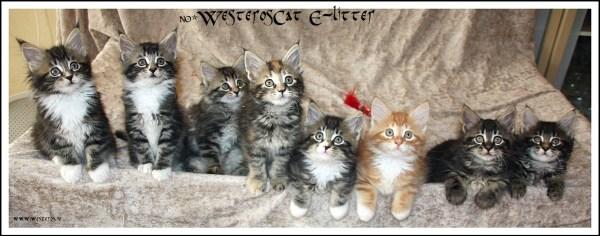 WesterosCat E-litter 7 weeks old