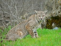 A bobcat (credit: Wikimedia Commons)