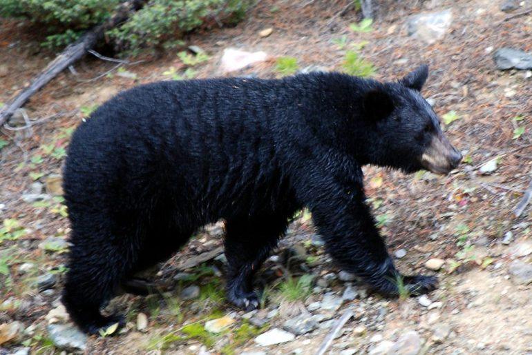 1280px-Canadian_Rockies_-_the_bear_at_Lake_Louise