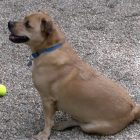 Hank is available for adoption at the Lowell Humane Society. PHOTO BY PATTY STOCKER