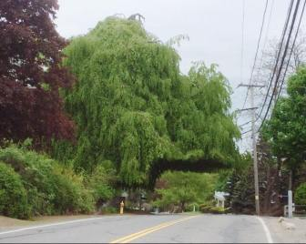 The weeping beech tree before it was removed for safety reasons. PHOTO BY LISA MILLETTE COURCHAINE