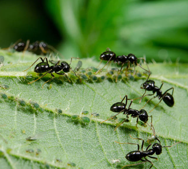Elongate Twig Ants Are Wasp Like In Appearance And Adults Range From 5 16 Inch To 2 8 10 Mm Length