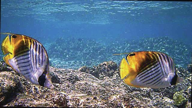 Island life: By a threadfin