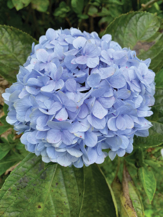 Welcome spring with colorful rhododendrons and hydrangeas