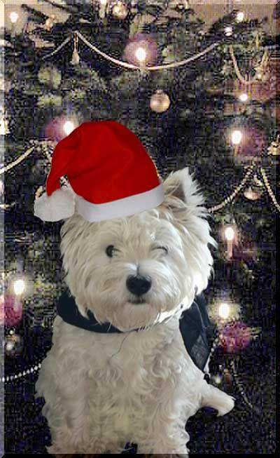 West Highland White Terrier Von Gesekendrpe