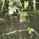 water vole feeding on riverside vegetation