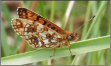 close up of a small pearl bordered fritillary butterfly