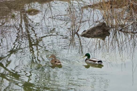 A pair of mallards swim by the Humber.