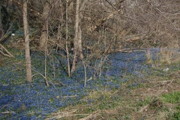 A carpet of bluebells flows like a river in Cruickshank Park