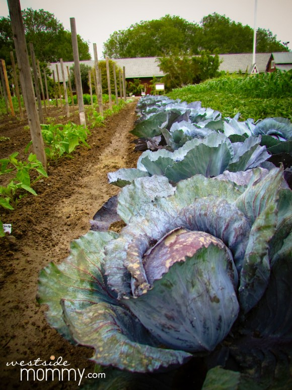 lettuce and agriculture at Centennial Farm