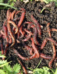vermiculture - composting with worms