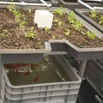 Aquaponics 101 - Styles and Types Media Bed on a FLood and Drain system