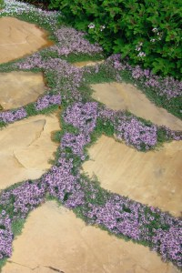 thyme as a pathway accent