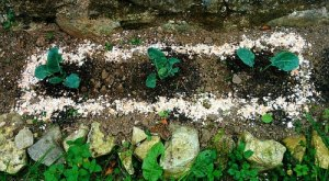 eggshells as insect control