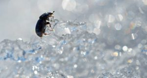 Winter Pest Control - beetle in ice