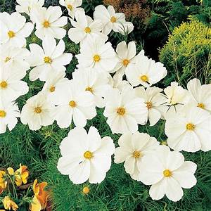 Plant of the Week - Cosmos White