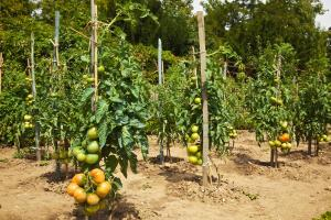 tomatoes - pruning staked tomatoes