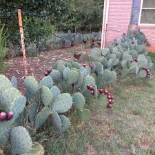 plant of the week - prickly pear
