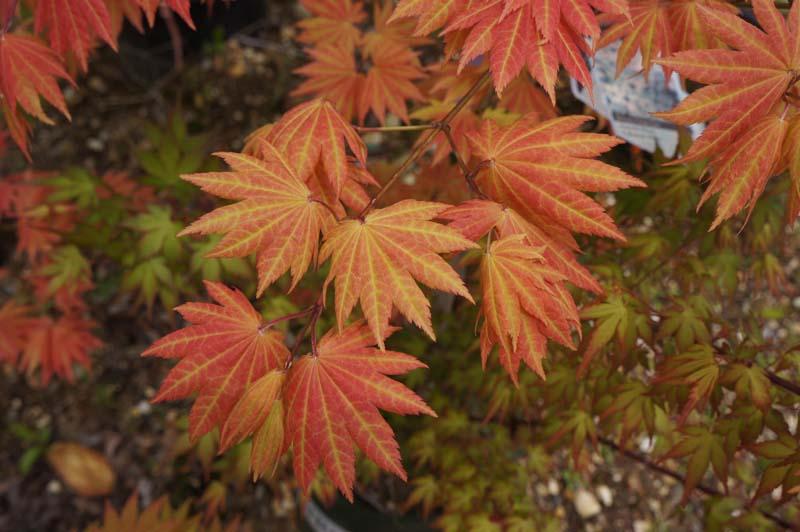 Japanese Maple Trees Westwood Gardens