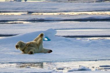 Un ours fait des cabrioles sur une plaque de banquise !