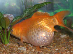 Image result for bloated goldfish overfeed