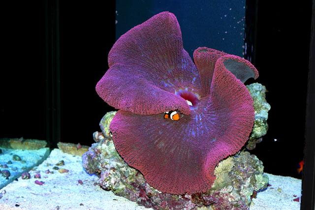 Carpet anemone care - Anemone species caring color refinement ...