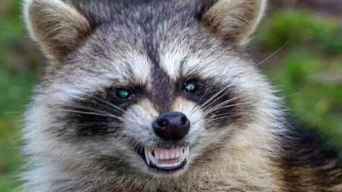 Zombie Raccoon