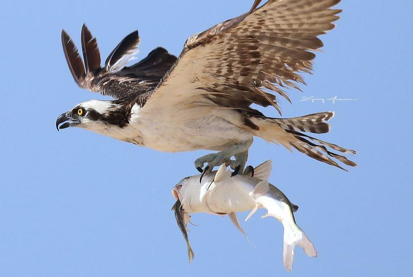 greg jowers osprey 3 tight_1533995723075.JPG.jpg