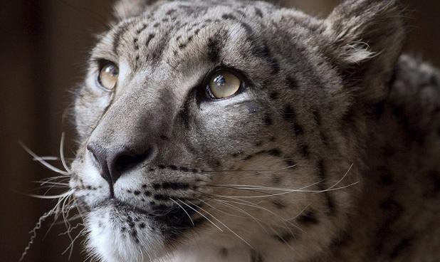 Britain Snow Leopard Killed_1543696984812