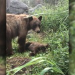 Mama bear stays with dead cub for 6 hours after speeding driver kills her child 💥😭😭💥