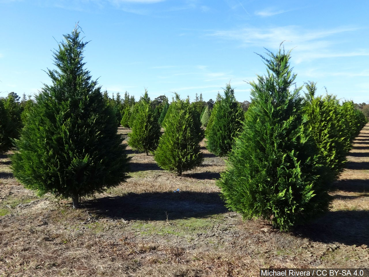 Roads and highways will have its share of families heading to pick out a tree for Christmas.