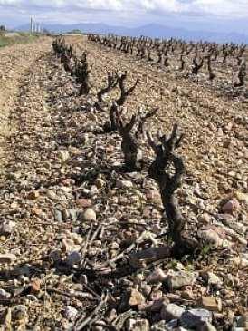Côtes du Roussillon vines growing in poor soils on Pleistocene river gravels, France. Image: Roger Suthren