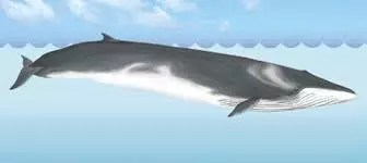 The fin whale is an enormous baleen whale. It's actually the second largest species of whale in the world (if that statement instantly made you wonder which one is the largest, keep reading). Fin whales go further and explore more than most other whales and travel in groups of 10 or less.