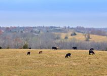 Grazing cows on a hill.