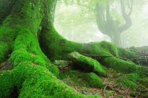 landscape with tree roots with moss on forest