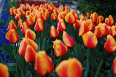 skagit-tulip-festival11