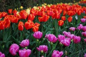 skagit-tulip-festival12