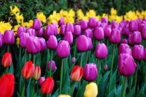 skagit-tulip-festival15