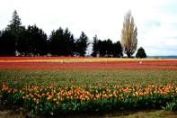 skagit-tulip-festival19