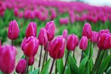skagit-tulip-festival3