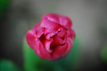 skagit-tulip-festival6