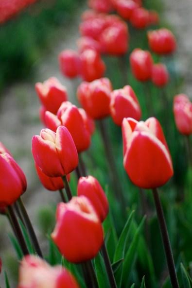 skagit-tulip-festival7