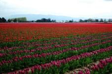 skagit-tulip-festival8