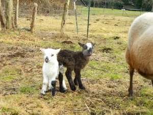 Twin lambs were born during the interview for this article. Photo credit: Theresa Golden.