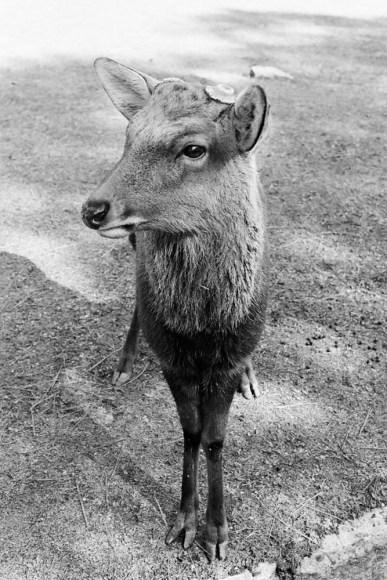 deer-in-nara_4116416561_o