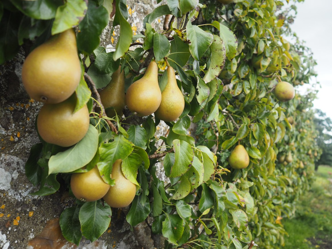 what lizzy loves foraging River cottage pears
