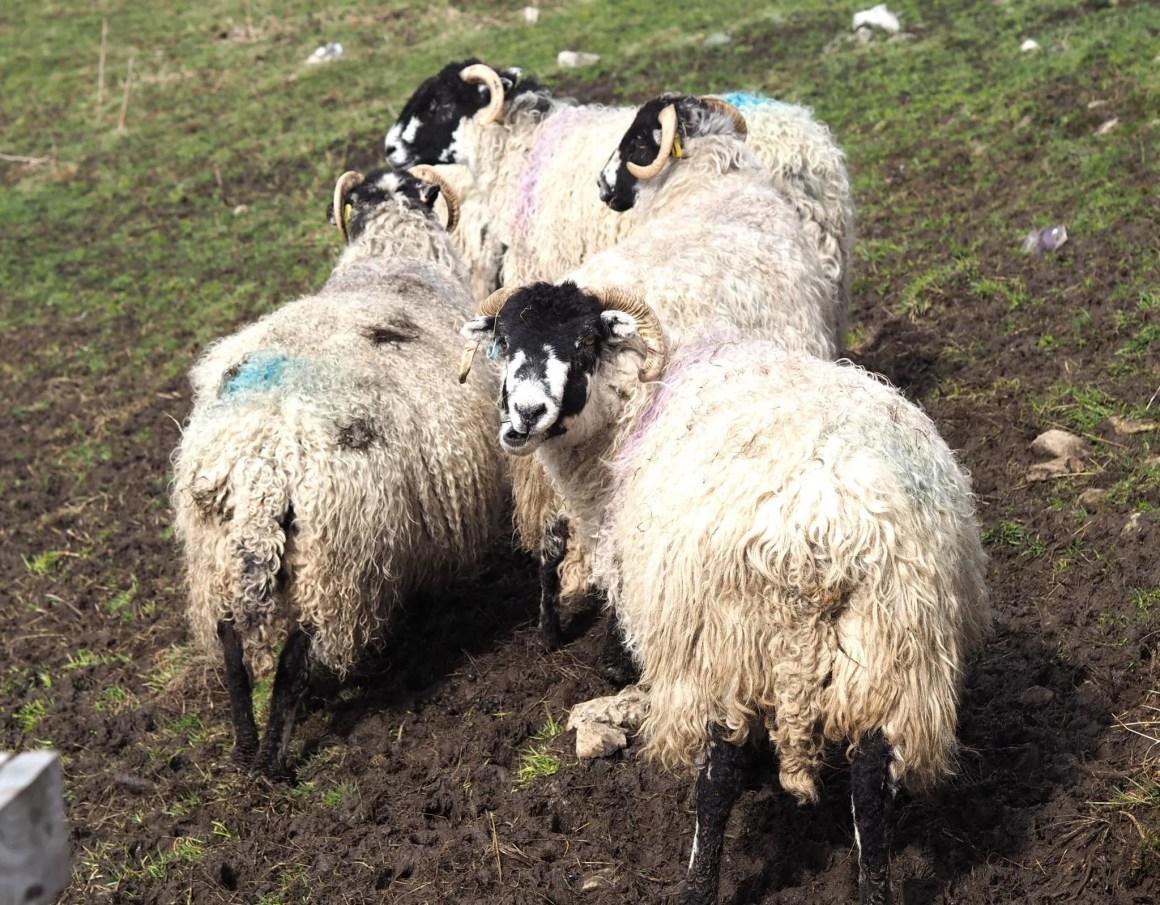 what lizzy loves sheep Malham